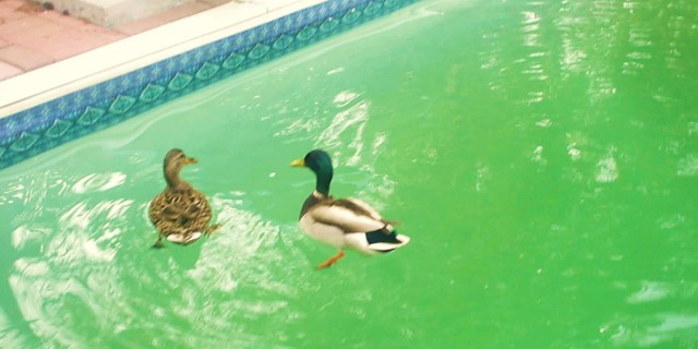 Oliver and Daisy Mallard, billed as the best ducks ever