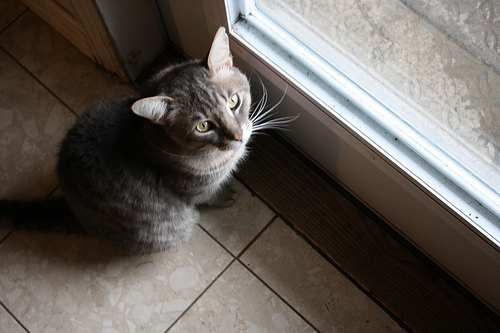 My cat, Grisito, waiting to be let out. Photo credit: Beatrice Carletti